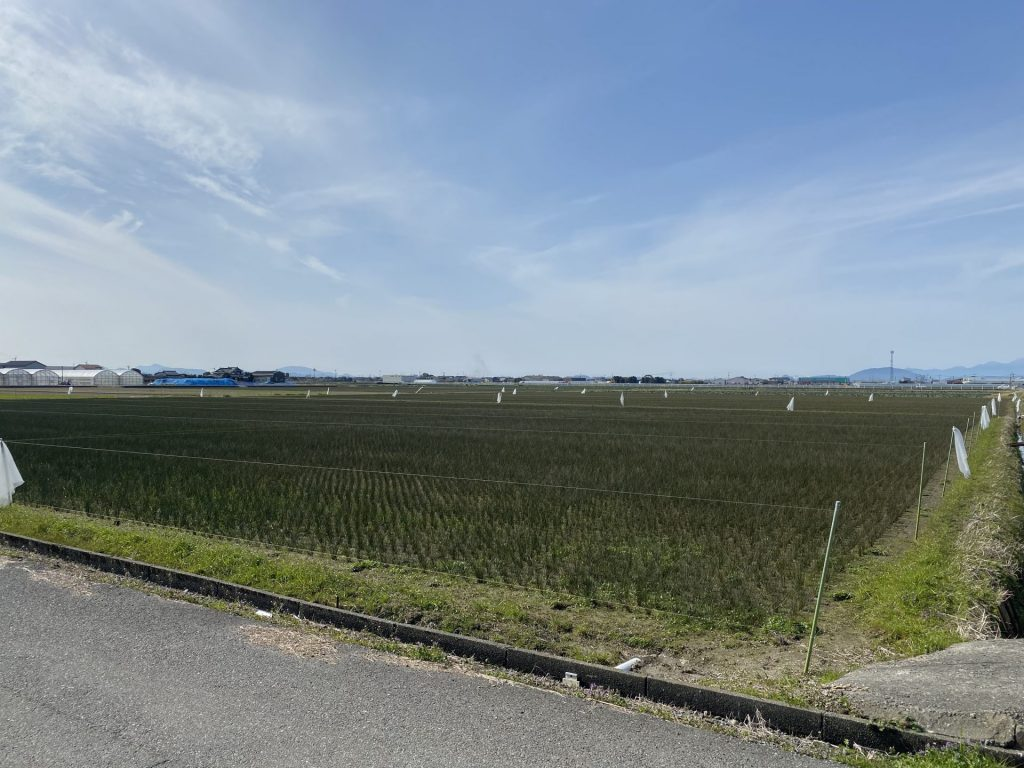 熊本県のい草畑